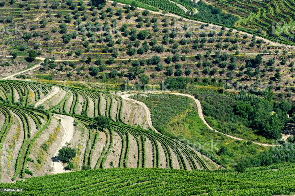 Vineyard terraces and olive trees in the Douro region stock photo