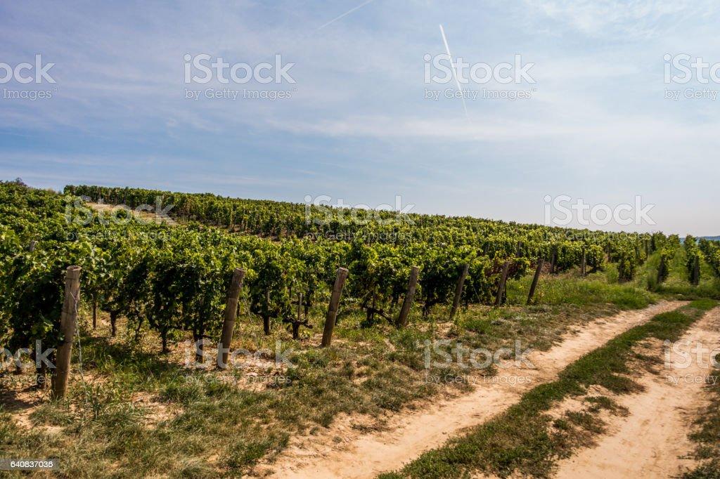 vineyard tokaj day horizontal hungary vine stock photo