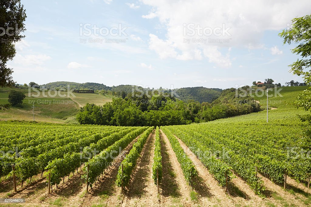 vineyard - Tuscany stock photo