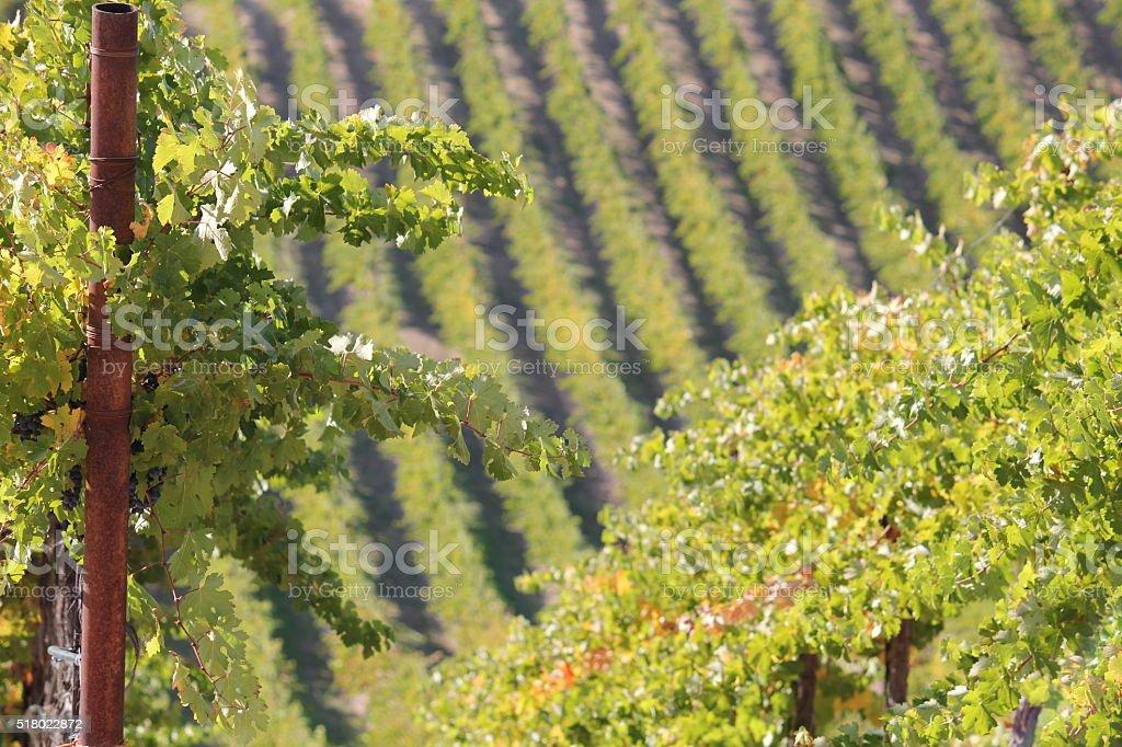 Vineyard View stock photo