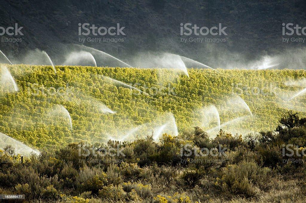 vineyard water irrigation sprinkler agriculture okanagan valley royalty-free stock photo