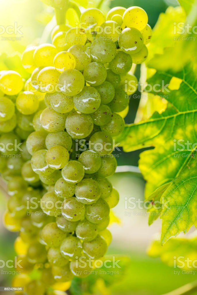Vineyard white grapes on the vine stock photo
