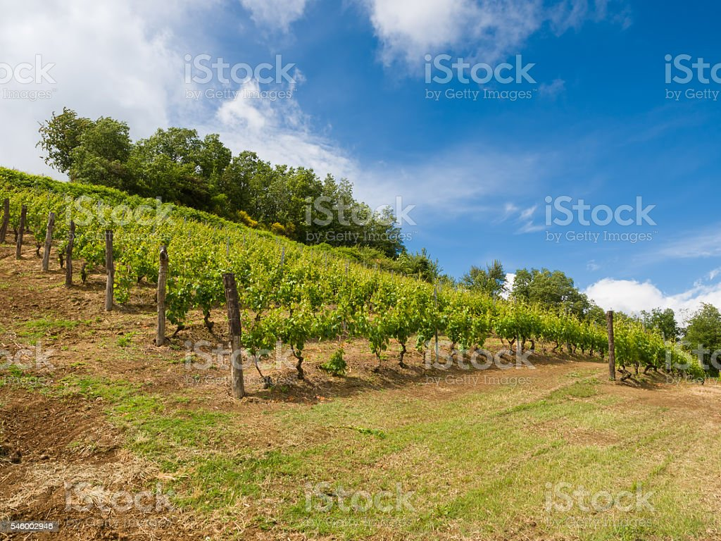 vineyard with a lot of lush grapevines in italian hills stock photo