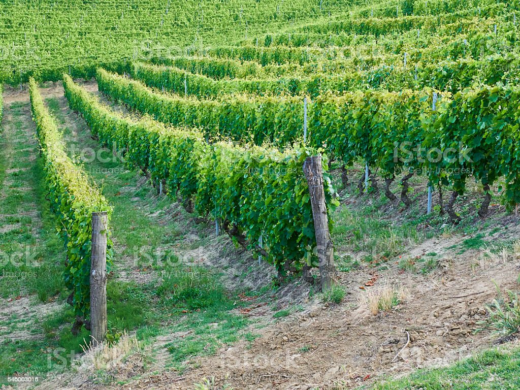 vineyard with a lot of lush grapevines stock photo