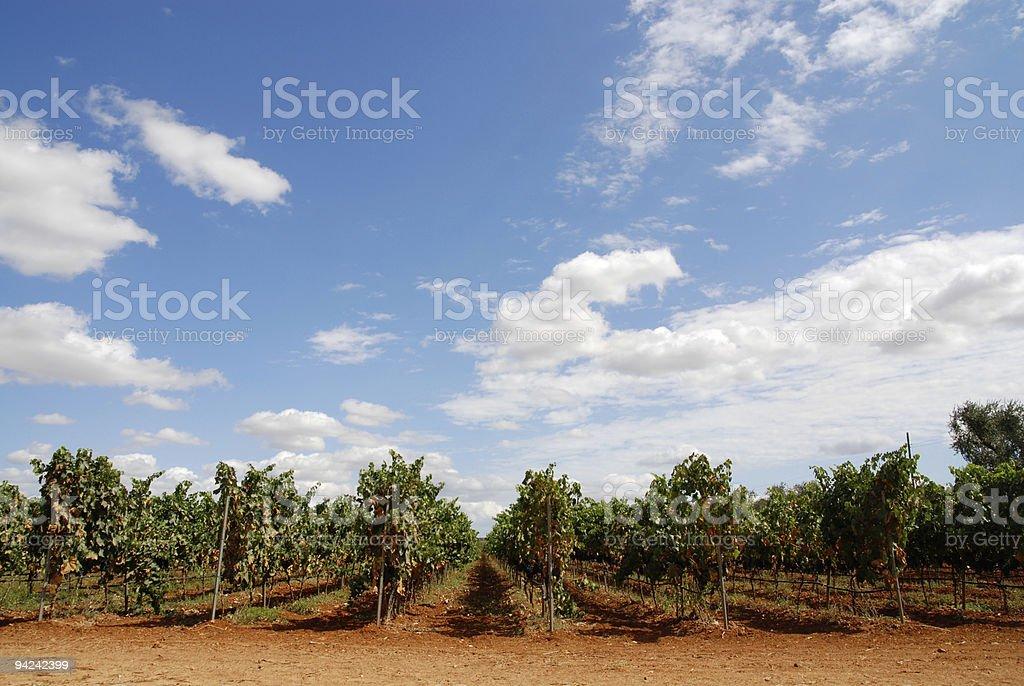 Vineyard with blue sky stock photo