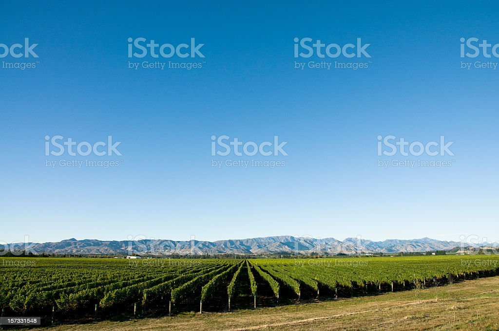 Vineyard with Copy Space stock photo