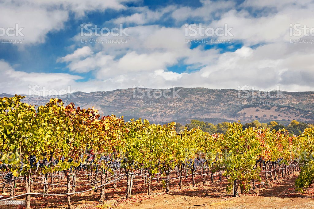 Vineyard with Grapes in Napa Valley on Cloudy Day stock photo