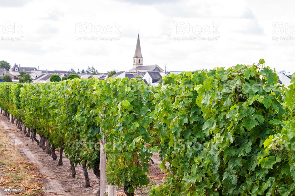 vineyard with grapes in the Loire Valley France stock photo
