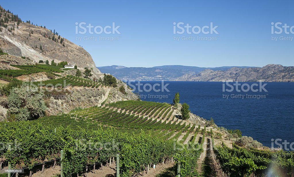 Vineyard With Lakeview stock photo
