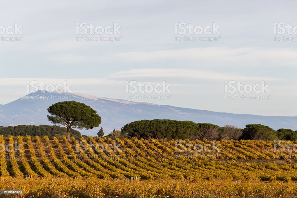 Vineyard with Mont Ventoux in the background,provence France stock photo