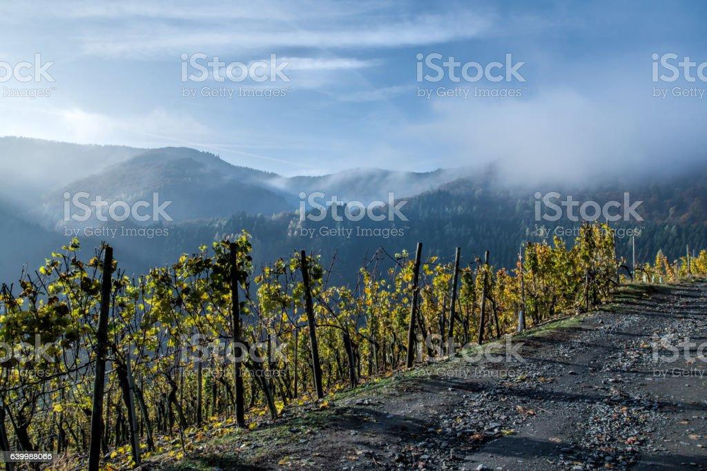 Vineyard with morning fog stock photo