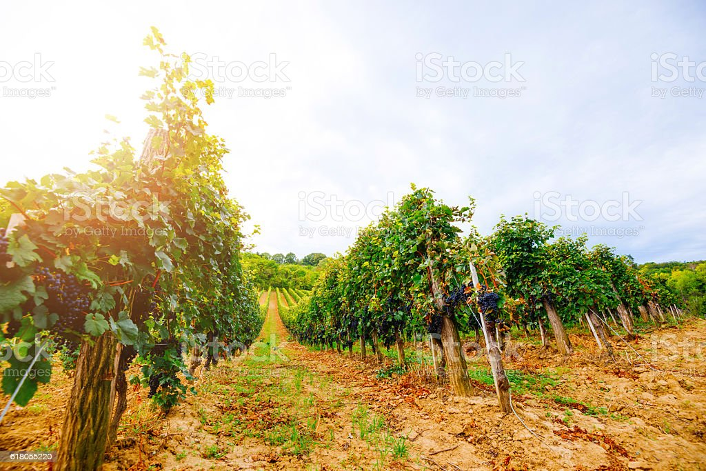 Vineyard with red grapes in late summer sunset stock photo