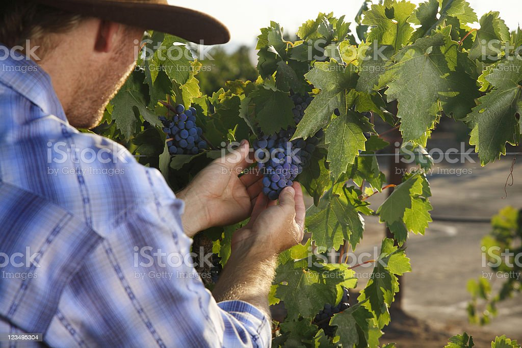 vineyard with red grapes royalty-free stock photo