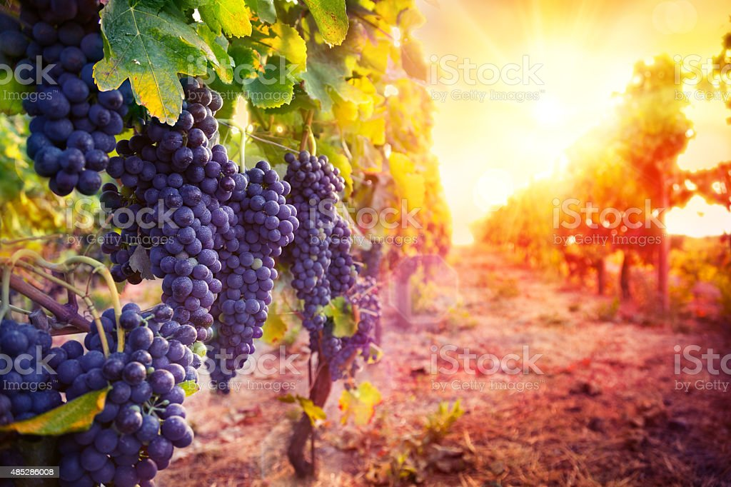 vineyard with ripe grapes in countryside at sunset stock photo