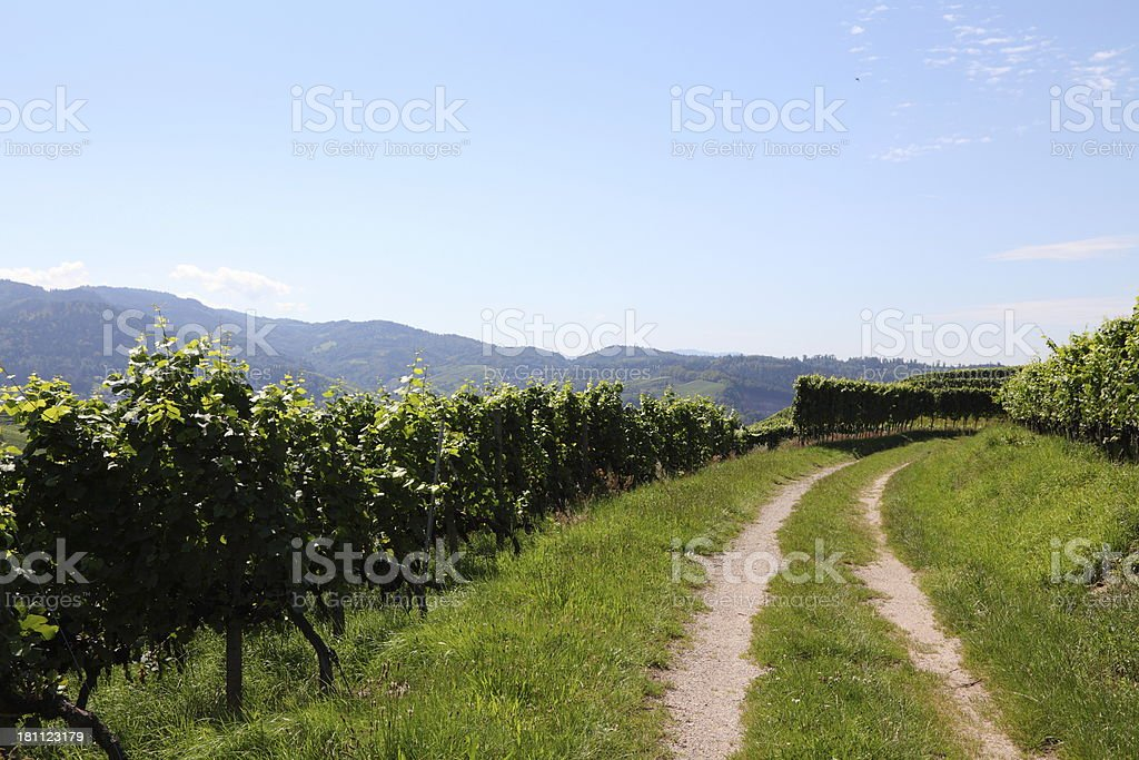 vineyard with ripe grapes royalty-free stock photo