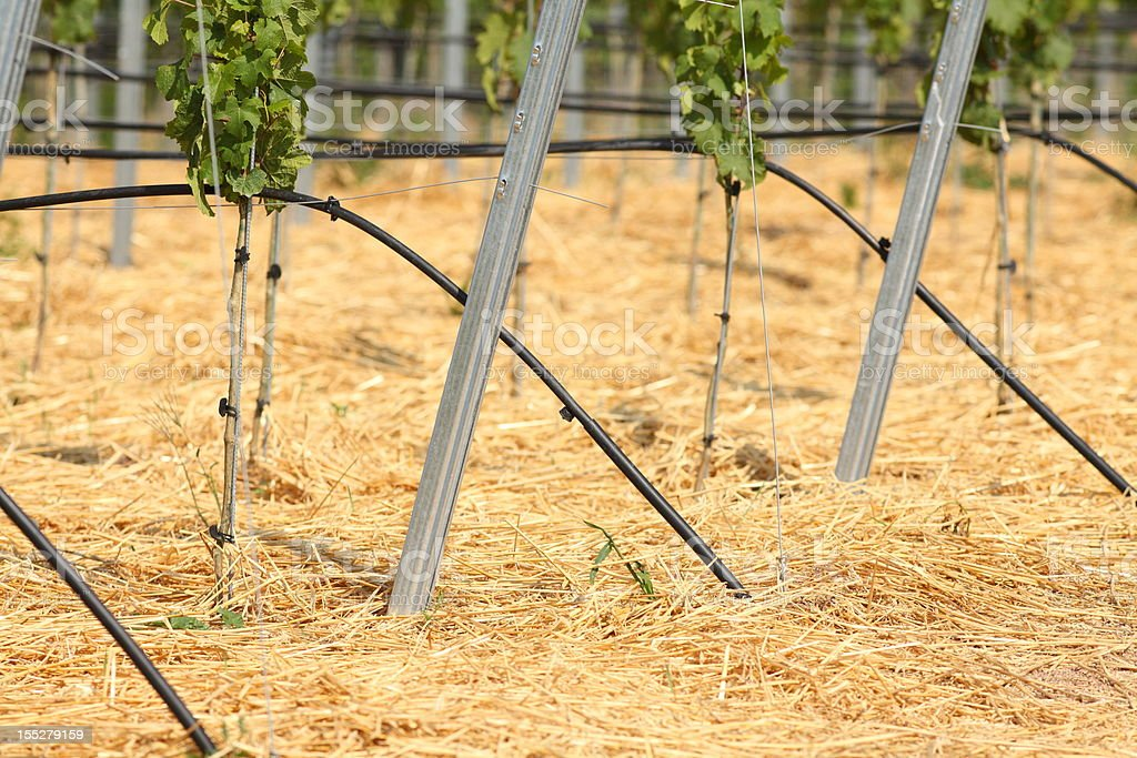 vineyard with young vine plants stock photo