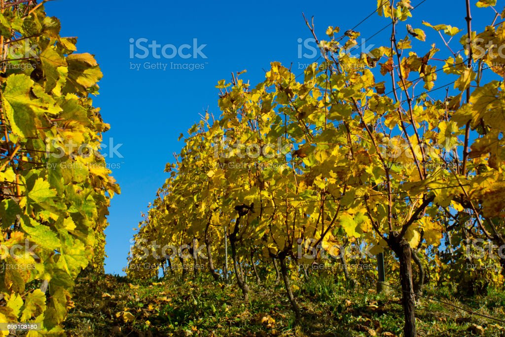 Vineyard without grape bunches stock photo