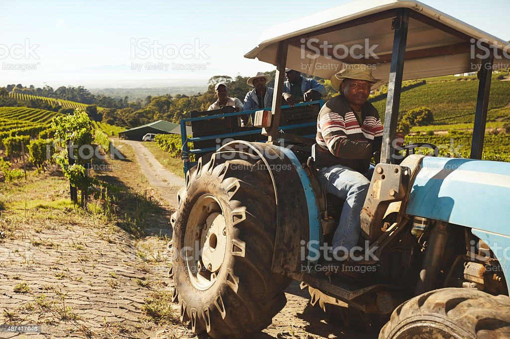 Vineyard worker transporting grapes to wine factory stock photo