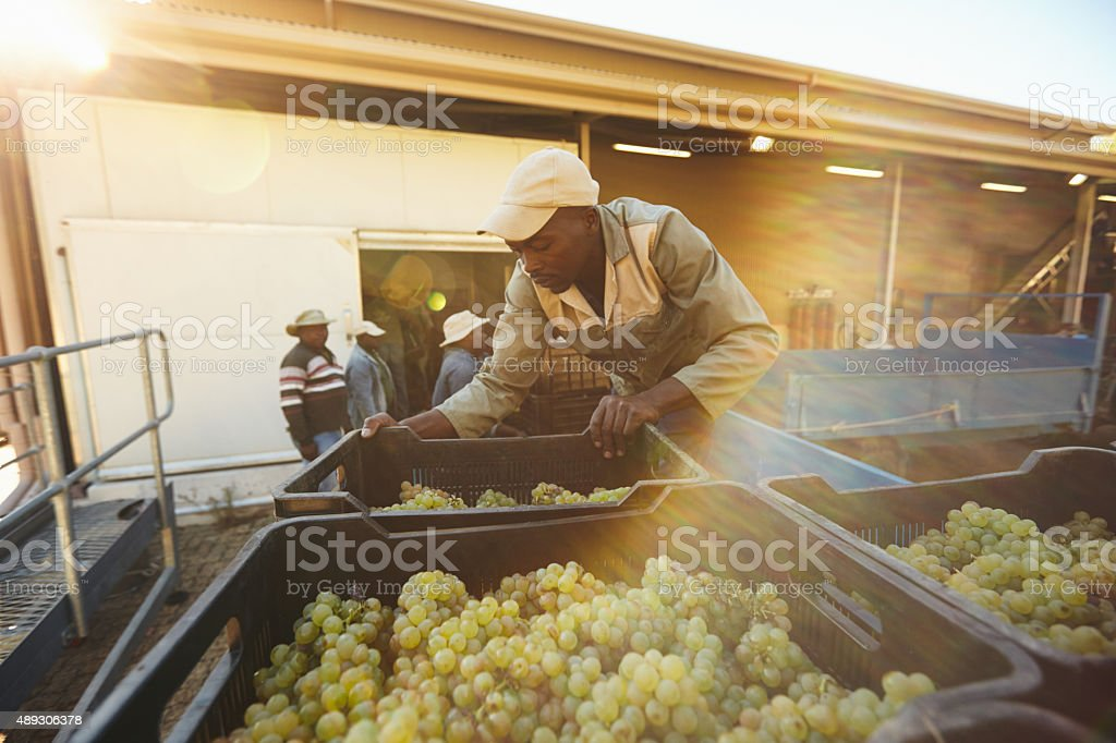 Vineyard worker unloading grape boxes from truck in winery stock photo