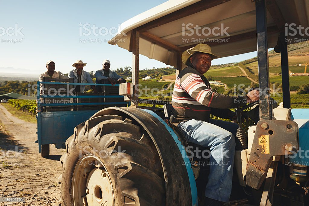 Vineyard workers delivering grapes to wine factory stock photo