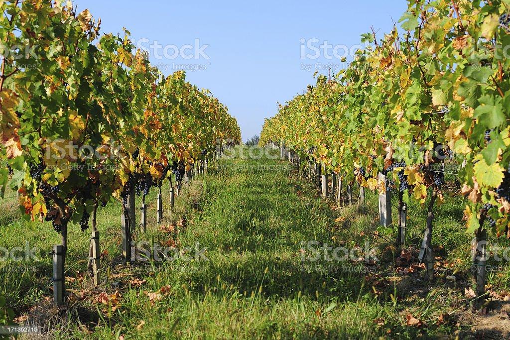 Vineyard - XLarge stock photo
