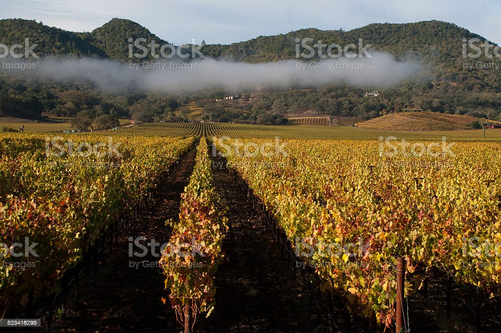 Vineyards and early morning fog near Yountville Napa Valley California stock photo