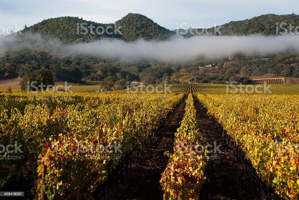Vineyards and early morning fog Yountville Napa Valley California stock photo