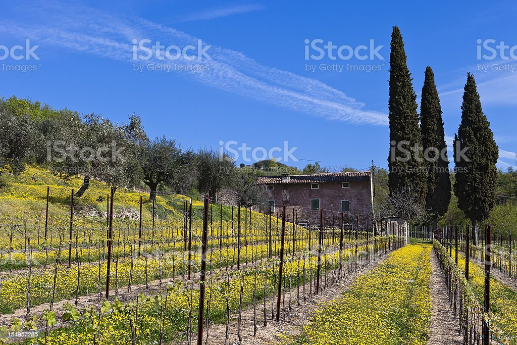 Vineyards and Olive Trees, Valpolicella royalty-free stock photo