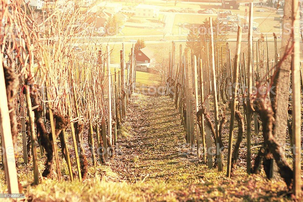 vineyards at spring season stock photo