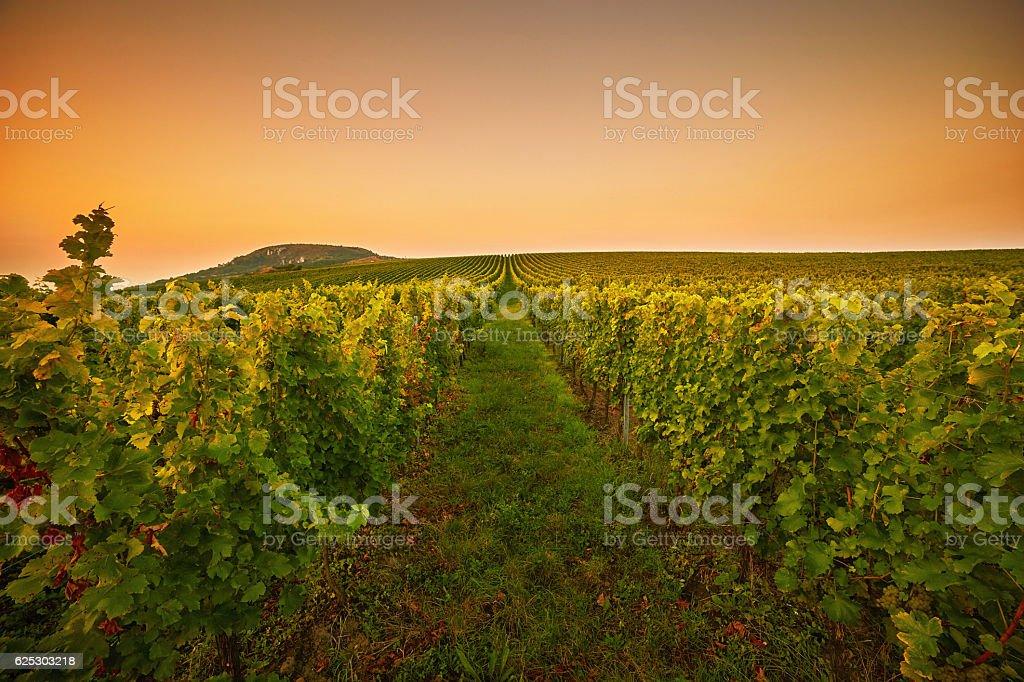 Vineyards at sunset. Toned stock photo