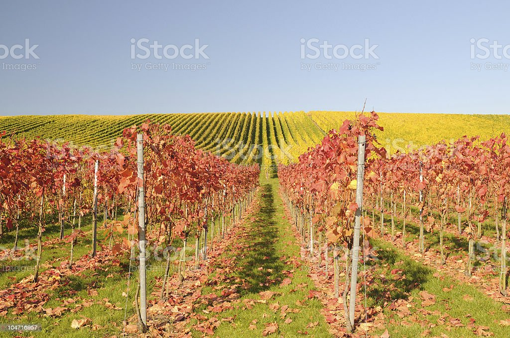 Vineyards Full of Colors stock photo