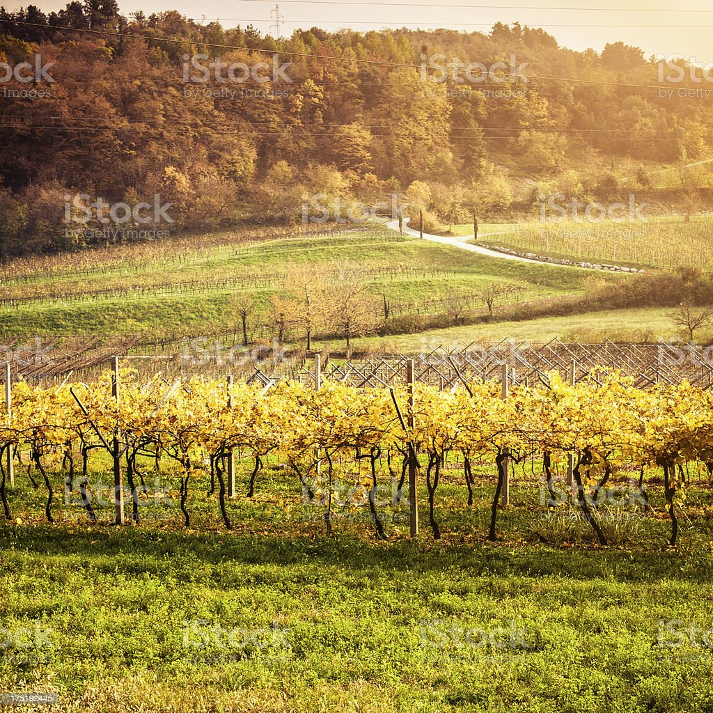 Vineyards in Autumn at Sunset royalty-free stock photo