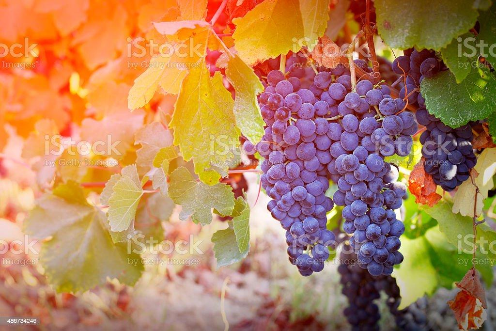 Vineyards in autumn harvest stock photo