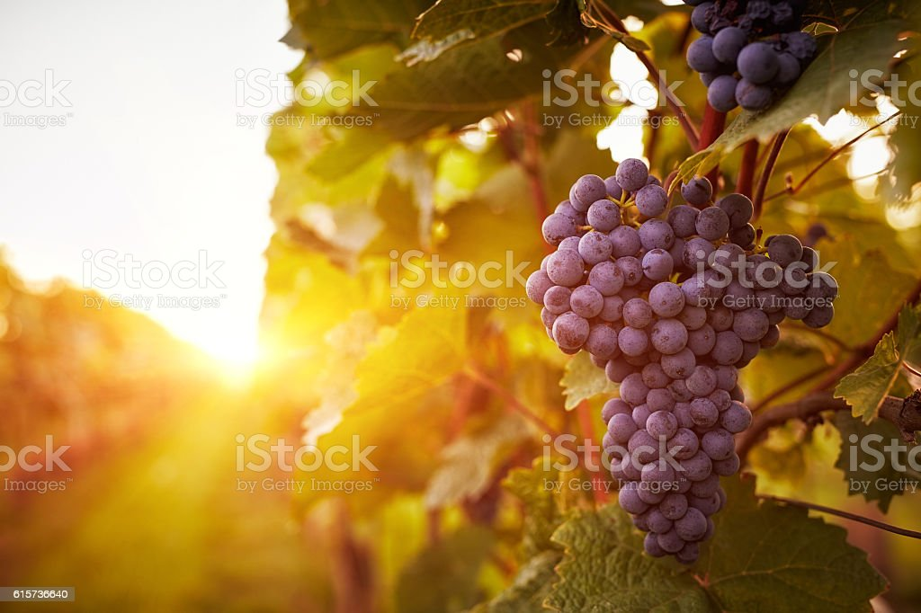 Vineyards in autumn harvest stock photo