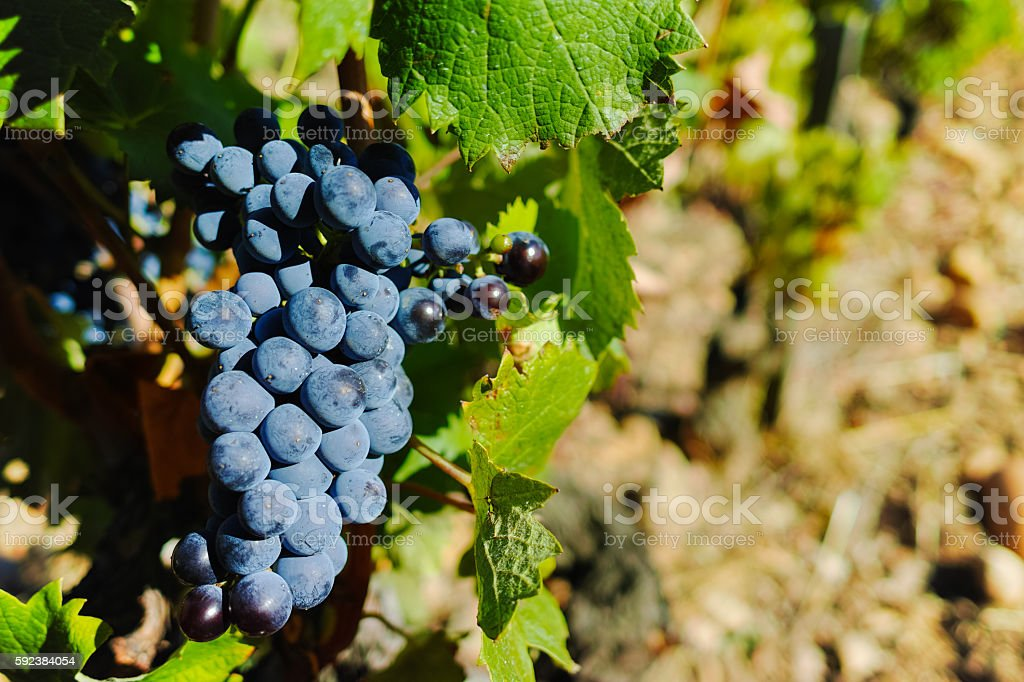 Vineyards in chateau, Chateauneuf-du-Pape, France stock photo