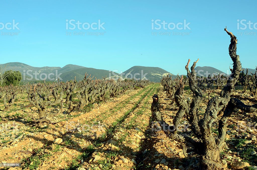 Vineyards in Drome provencal France stock photo