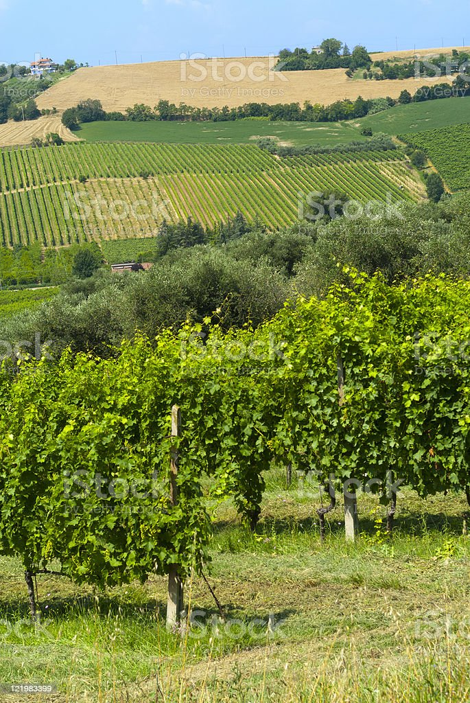 Vineyards in Emilia-Romagna (Italy) at summer stock photo