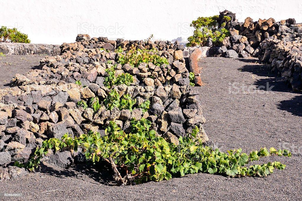 Vineyards in La Geria Lanzarote stock photo