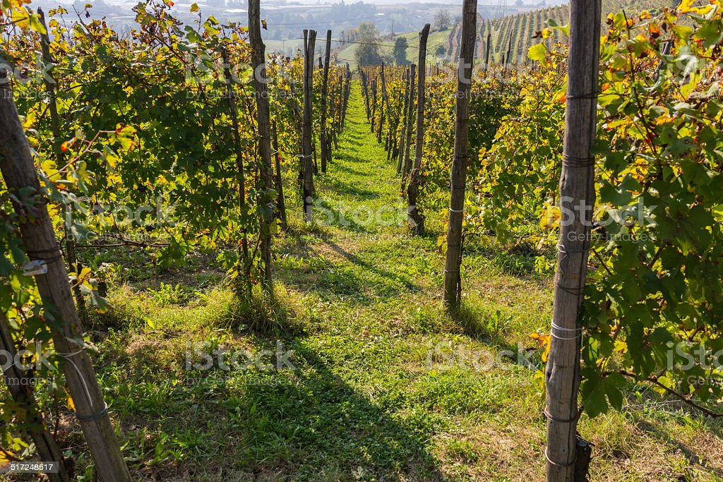 Vineyards in Langhe (Unesco World Heritage site) stock photo