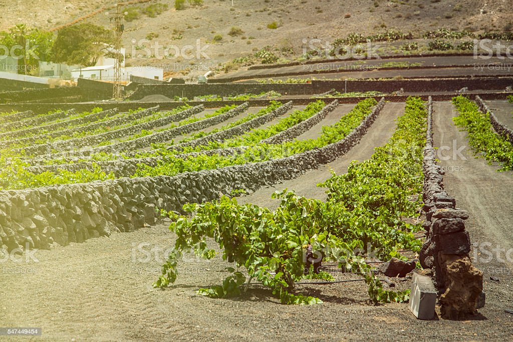 Vineyards in Lanzarote stock photo