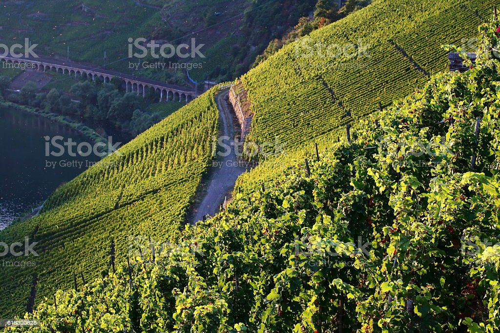 vineyards in moselle valley stock photo