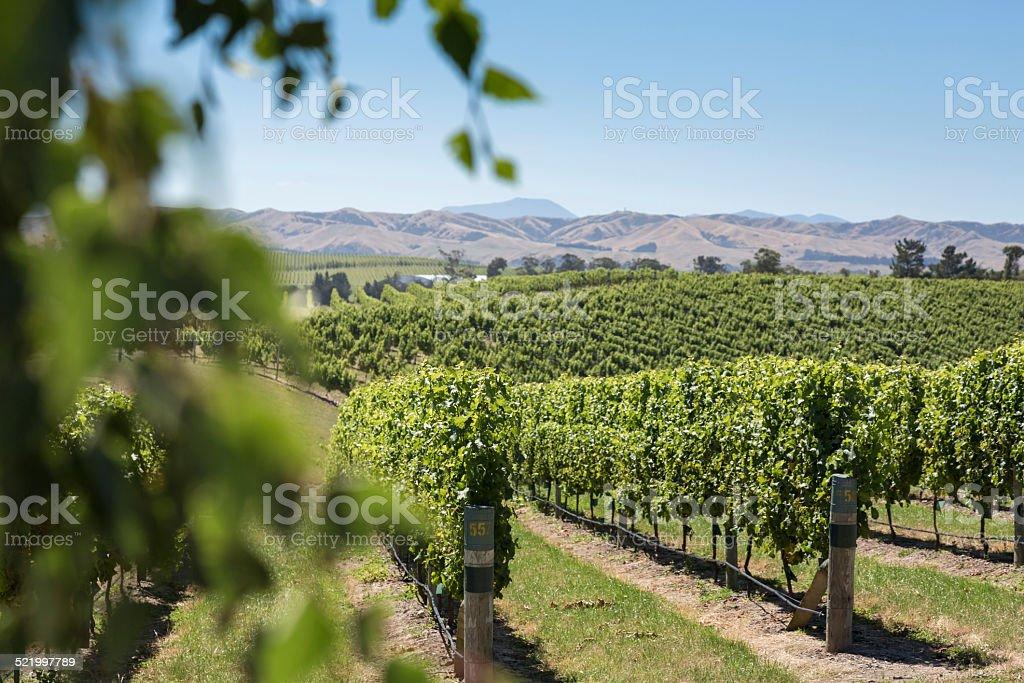 Vineyards in New Zealand stock photo