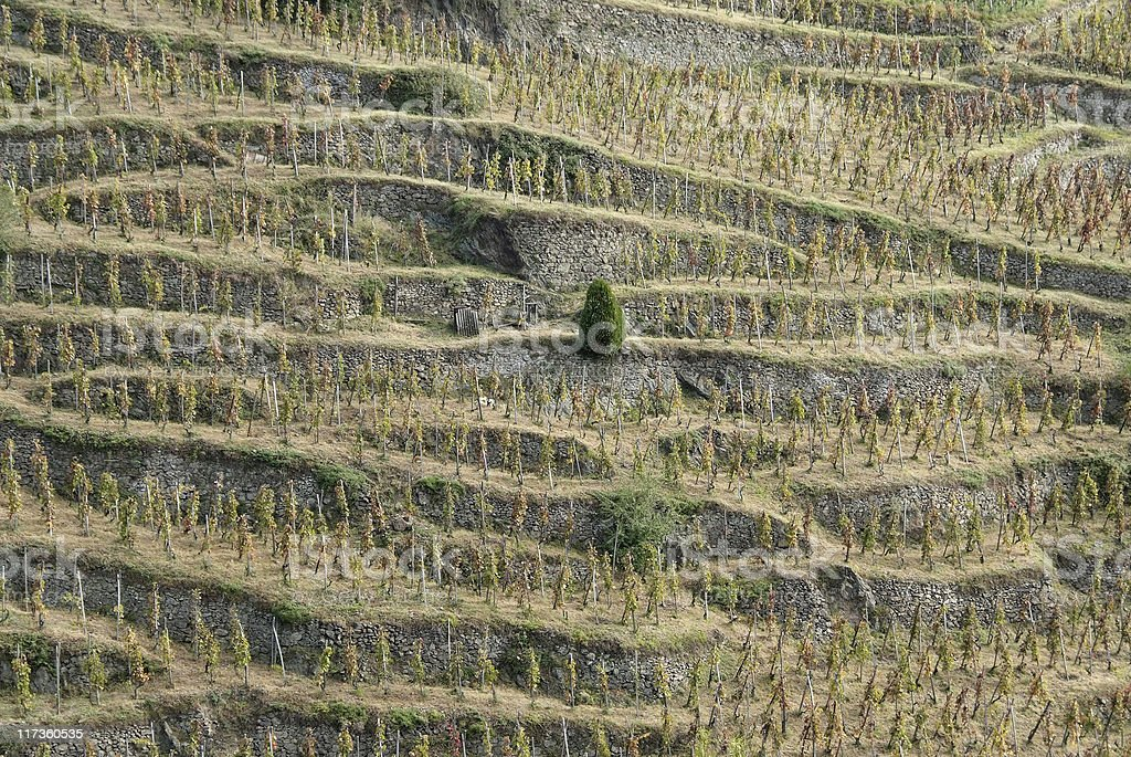 Vineyards in northern Rhone Valley (France) royalty-free stock photo