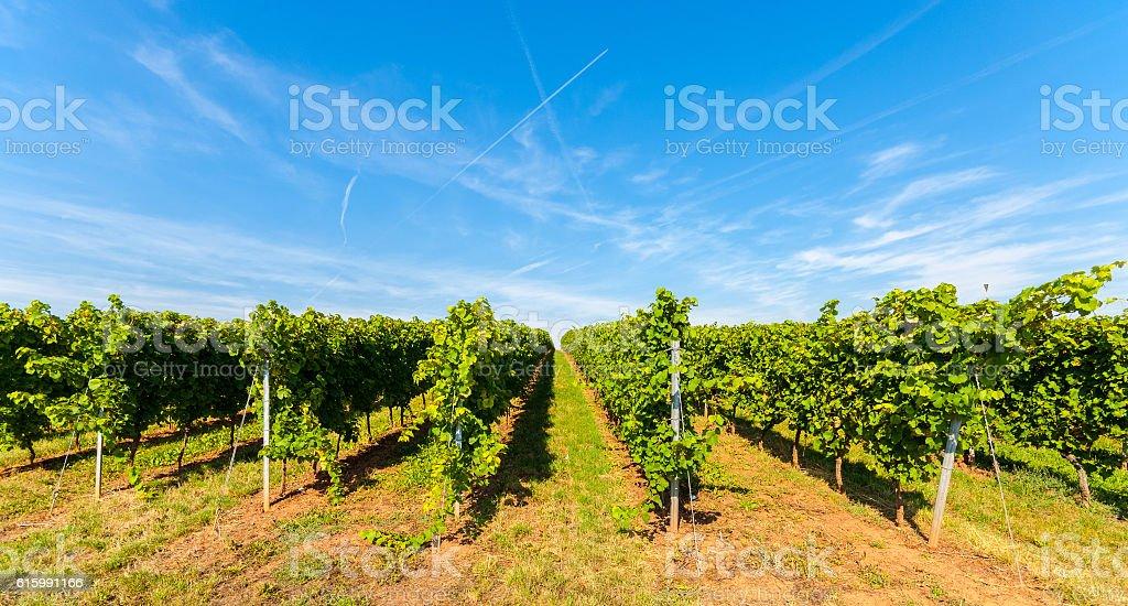 Vineyards in Rhenish Hesse, (Rheinhessen) Rhineland Palatinate, Germany stock photo