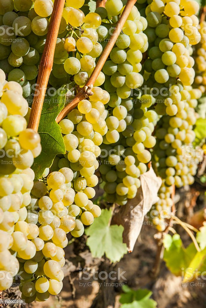 Vineyards in sunny autumn harvest stock photo
