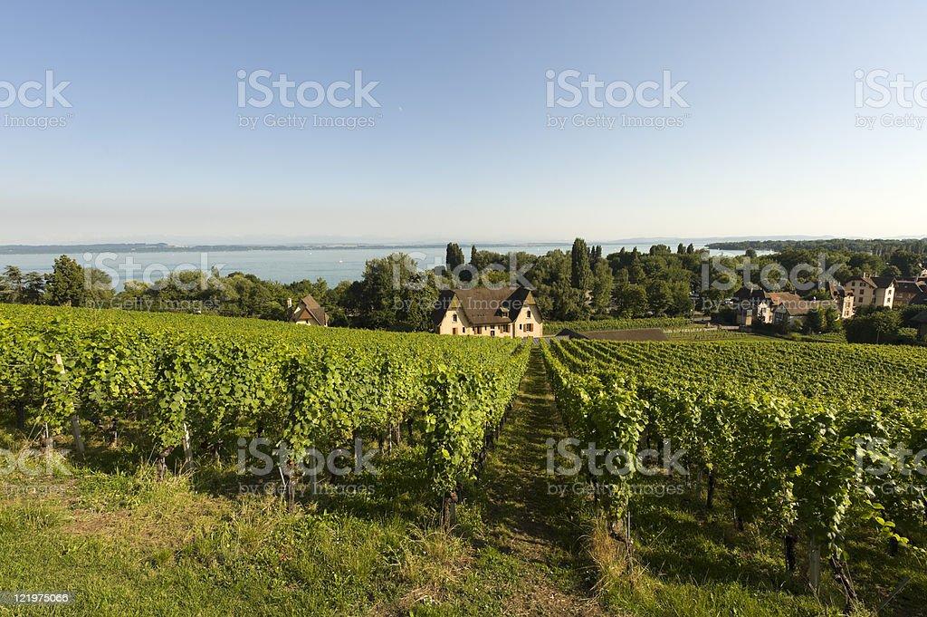 Vineyards in Switzerland on Neuchatel lake at summer stock photo