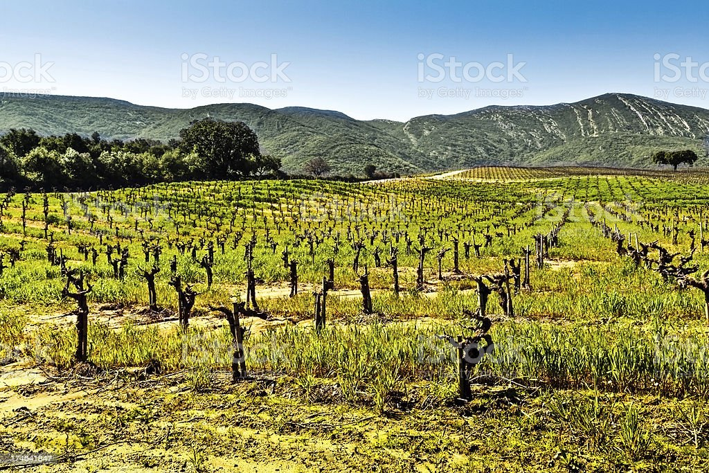 Vineyards in the foothills. stock photo