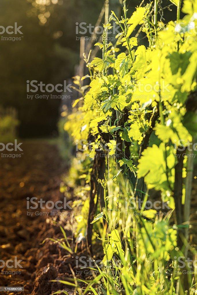 Vineyards in Tuscany, Chianti Region royalty-free stock photo