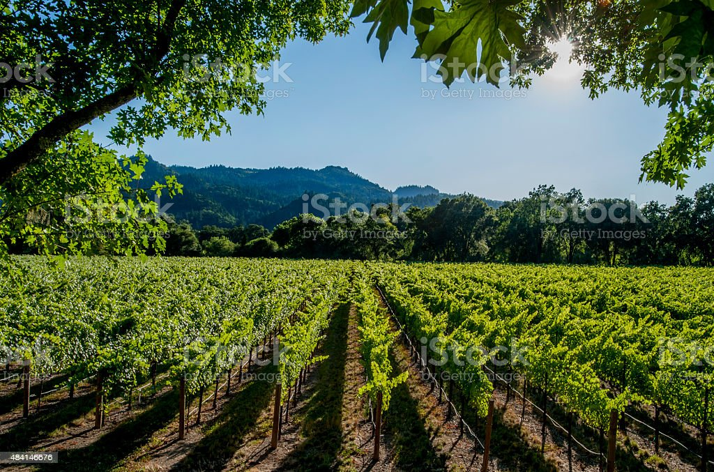 Vineyards, Napa Valley, California stock photo