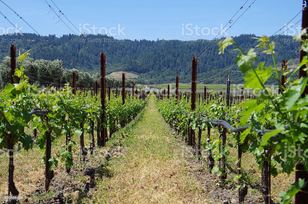 Viñedos de Napa Valley, California foto de stock libre de derechos